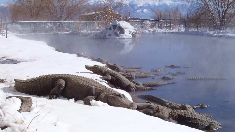 Alligators sunbathing on snow – Jay Young