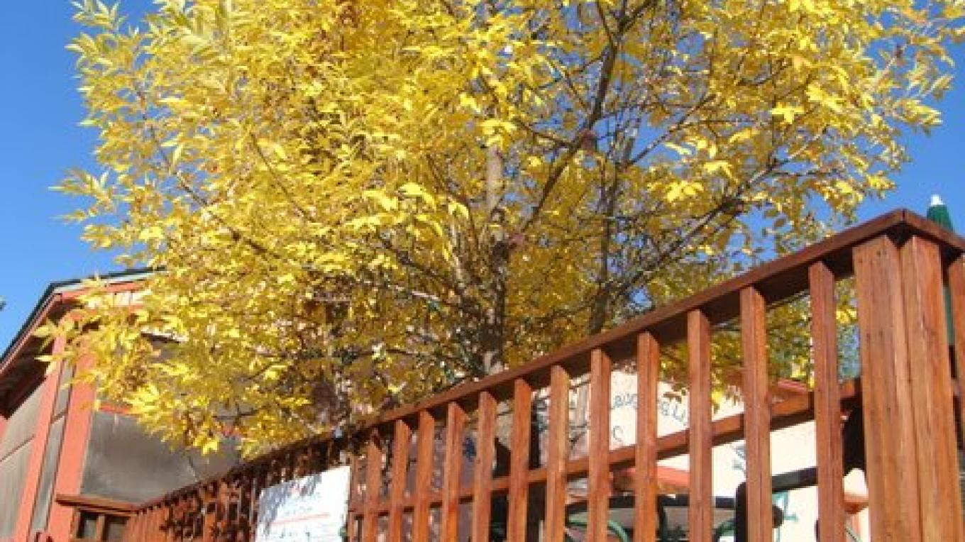 Green ash in fall on Lizard deck – E. MacKinnon