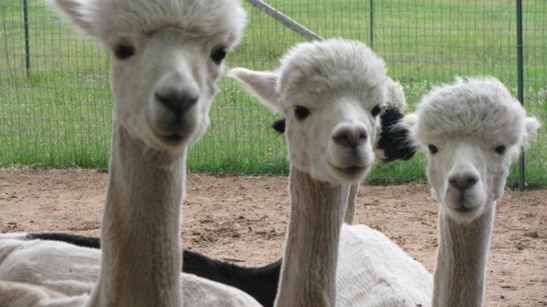 Three Alpacas – Gigi Ragland