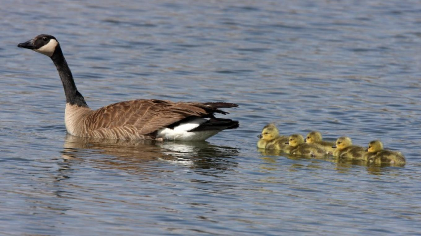 Canada Goose and gosslings – Lori Huff