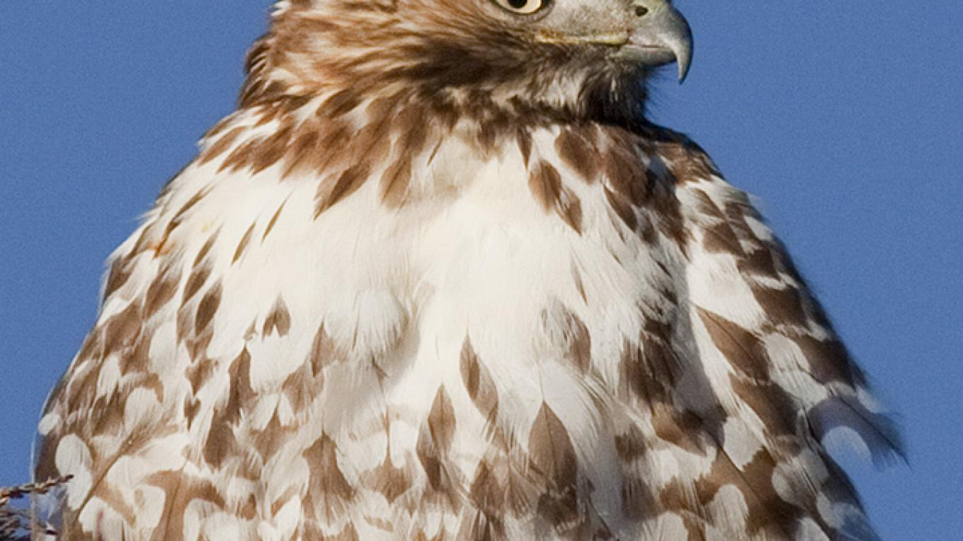 Red Tailed Hawk – Copyright © 2010 Geraint Smith