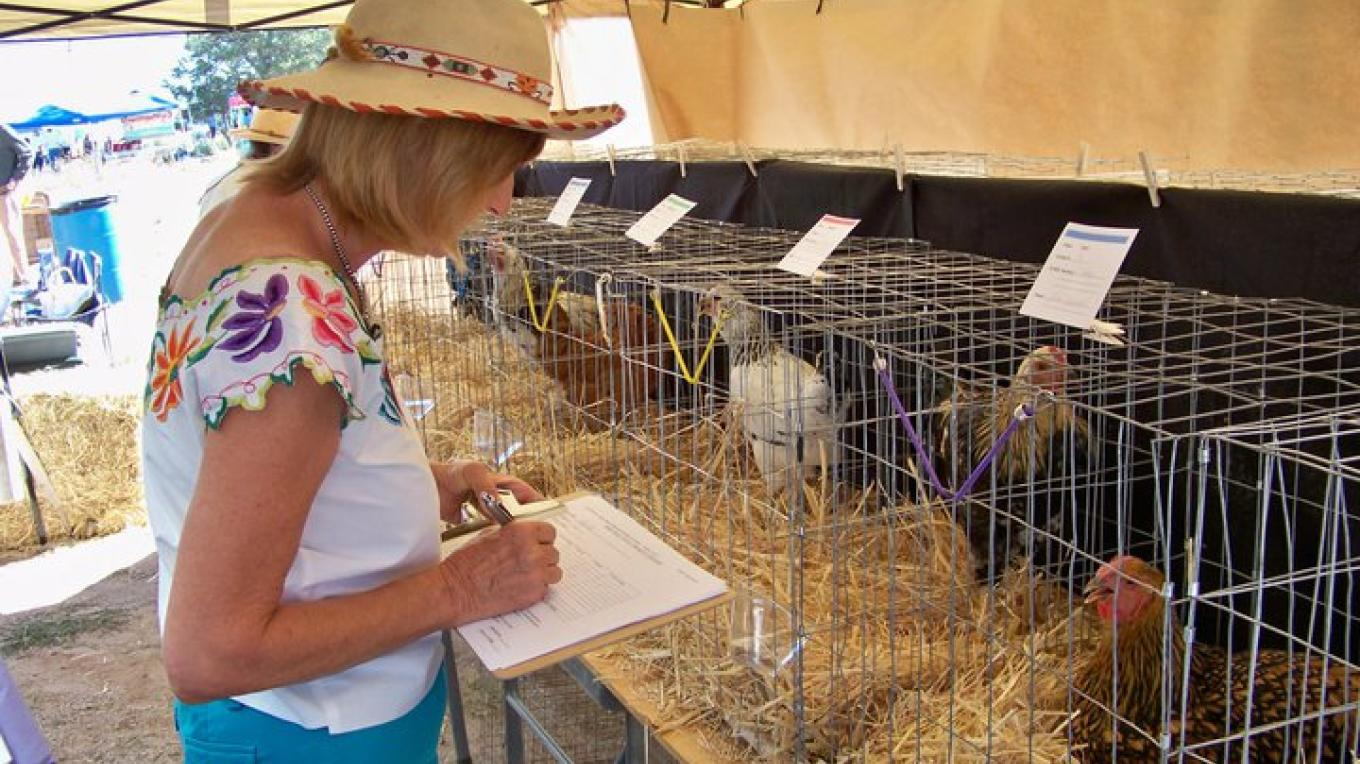 Chicken Judge, Nita takes her job seriously during the Most Beautiful Chicken Contest at the Harvest Festival. – RFM