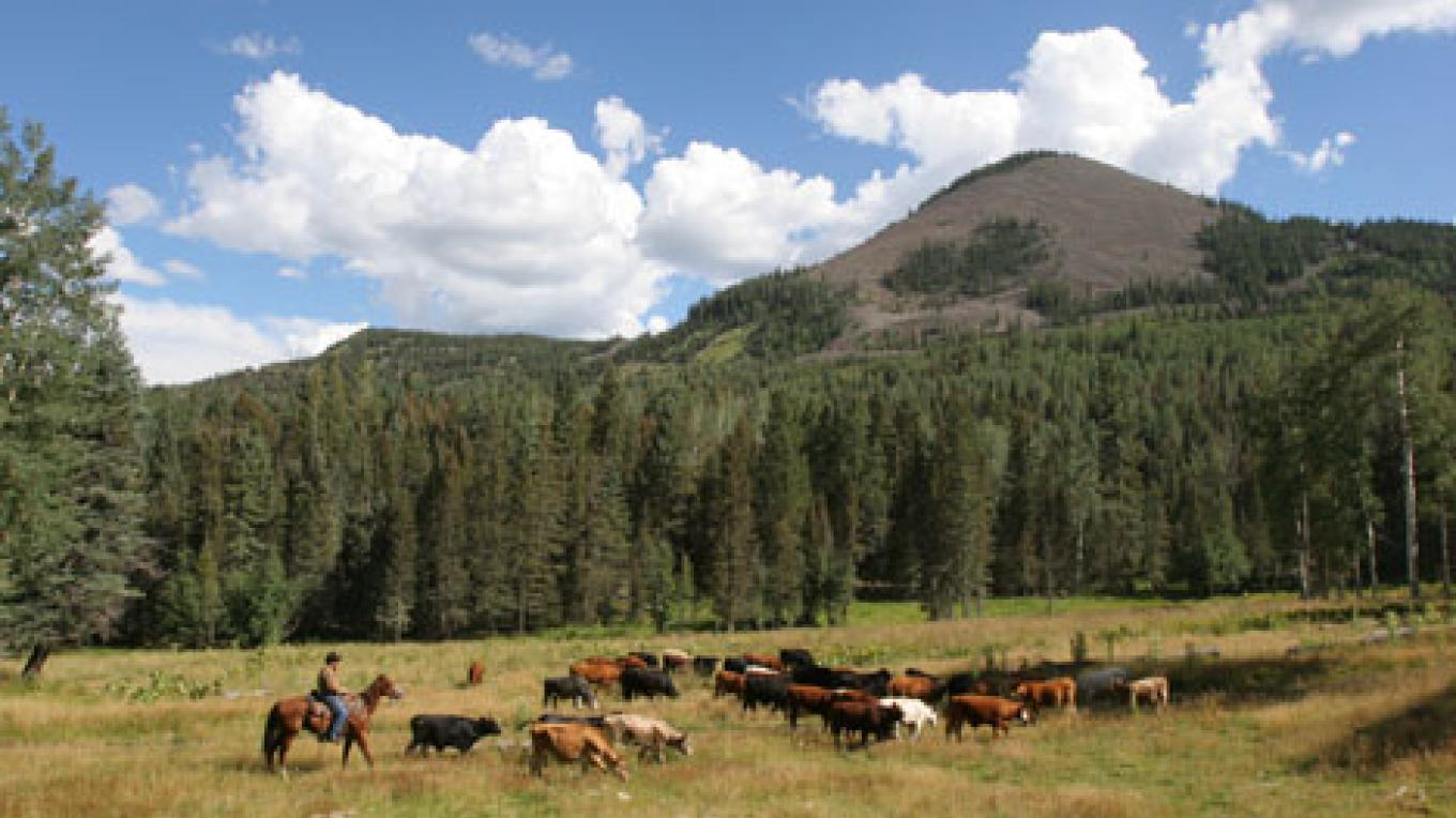 Moving cattle in a high mountain meadow. – Lauren Clifton