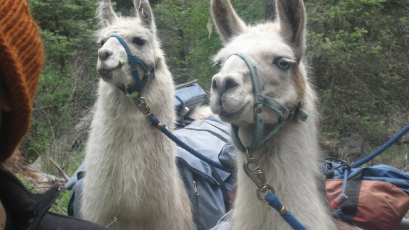 Llamas make curious and alert hiking companions – Wild Earth