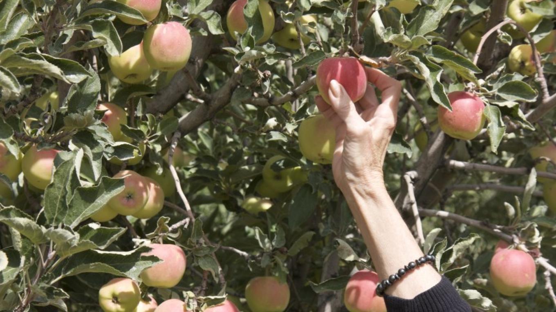 U-pick apple orchard – Barbara Grist
