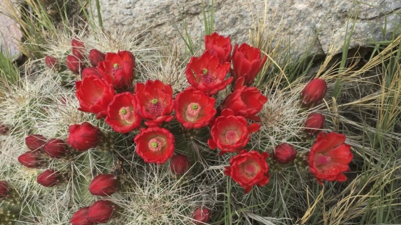 Claret Cup cactus in June. – H. Atterbury