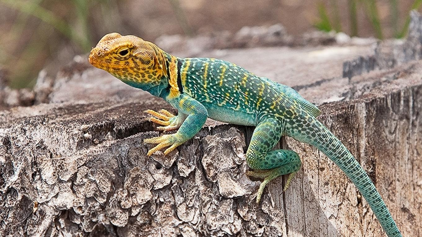 Collared lizard in Mesa Verde NP – Christopher Marona for ARAMARK