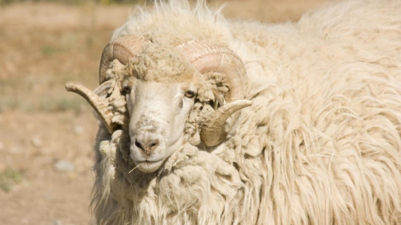 Churro Sheep Ram – Barbara Grist