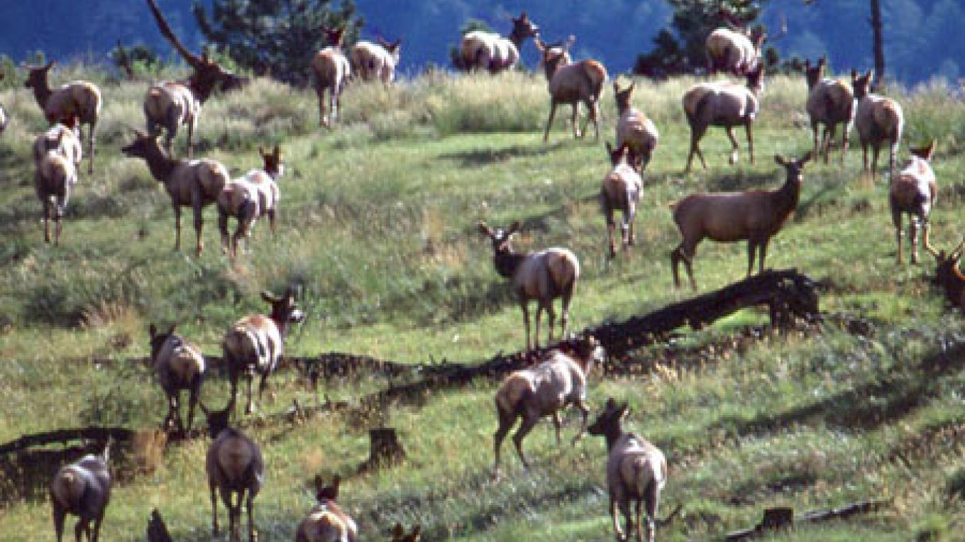 Part of the second largest herd of Rocky Mountain Elk in New Mexico. – Don J. Usner
