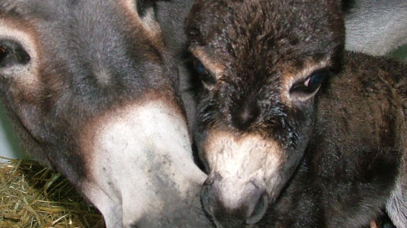 Miniature Donkey Jennet and Foal – ASStec Acres