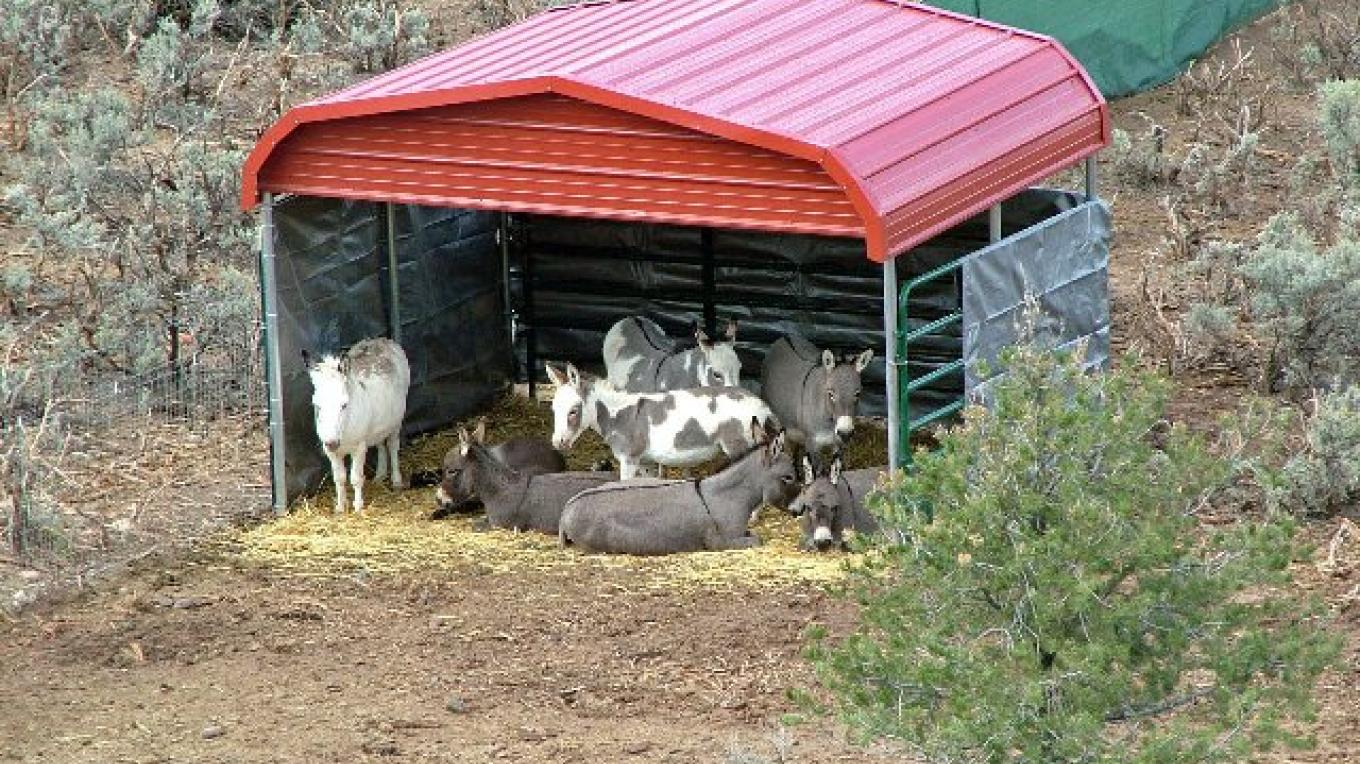 Donkeys in Shed Relaxing At ASStec Acres – ASStec Acres