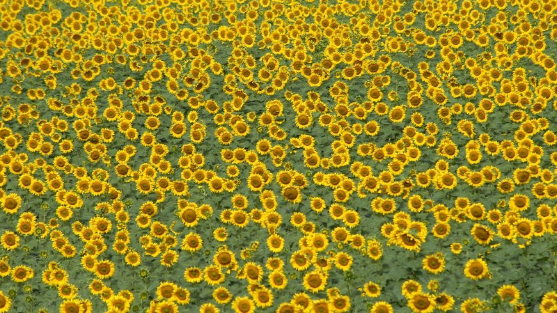 Sunflower Field – Barbara Grist