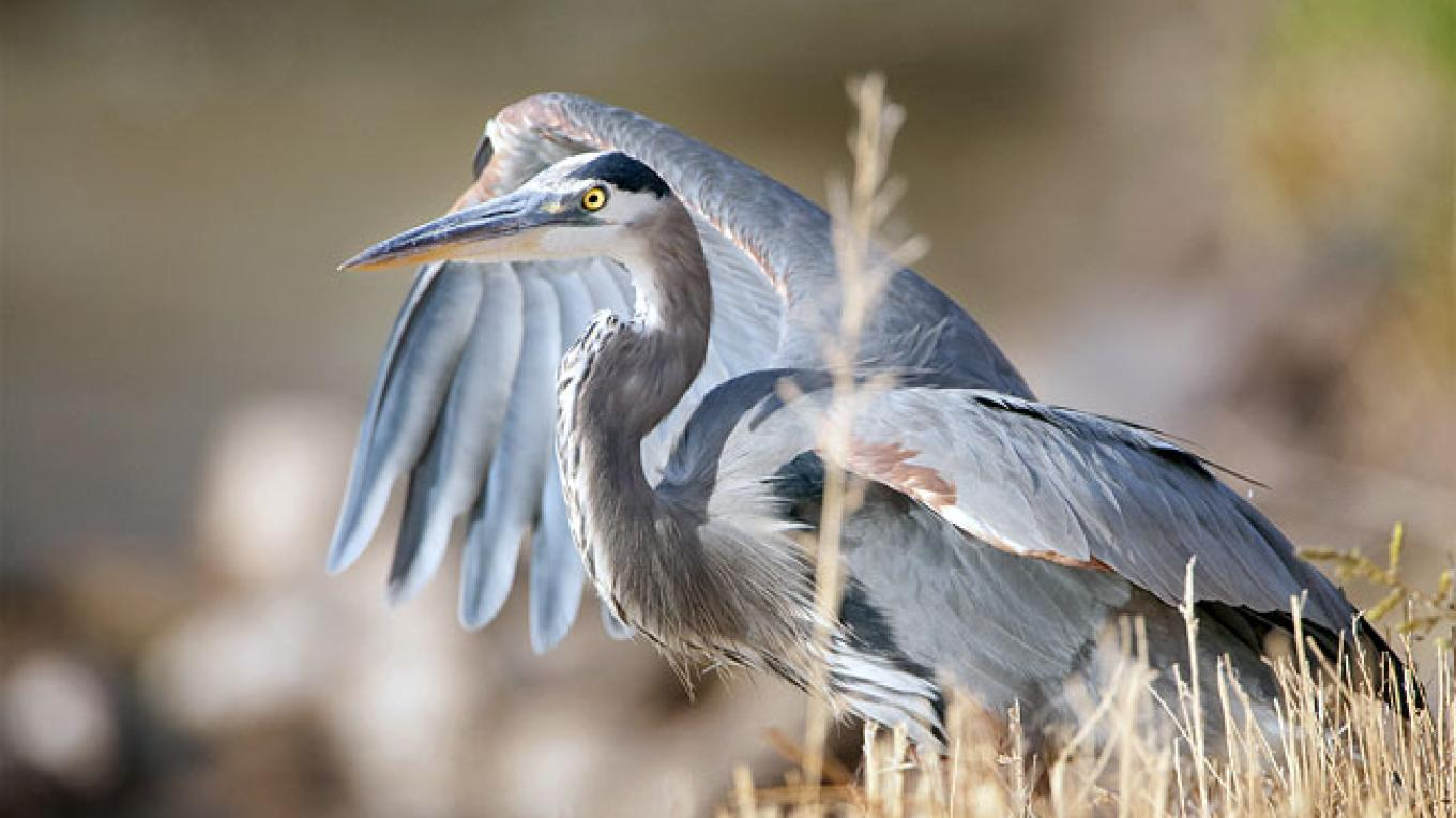 Great Blue Heron – Copyright © 2009 Geraint Smith