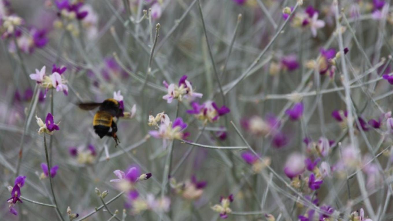 Broom Dahlia with bee – Sarah Molleur