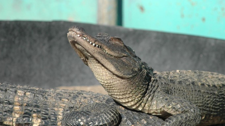 sunning alligator – Erin Young