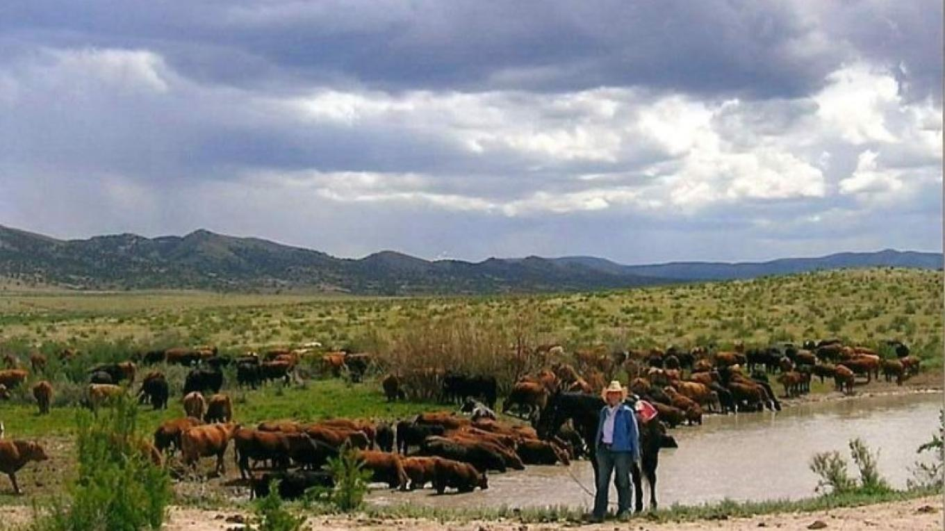 Cattle at water – Courtesy of East Pines Ranch