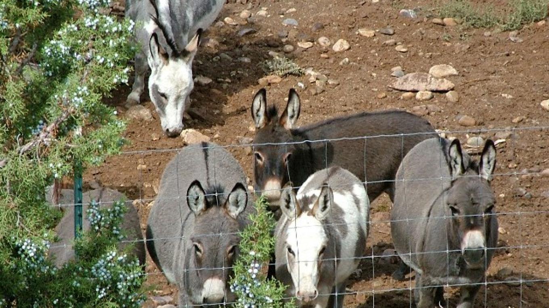 Donkeys at Fence at ASStec Acres – ASStec Acres