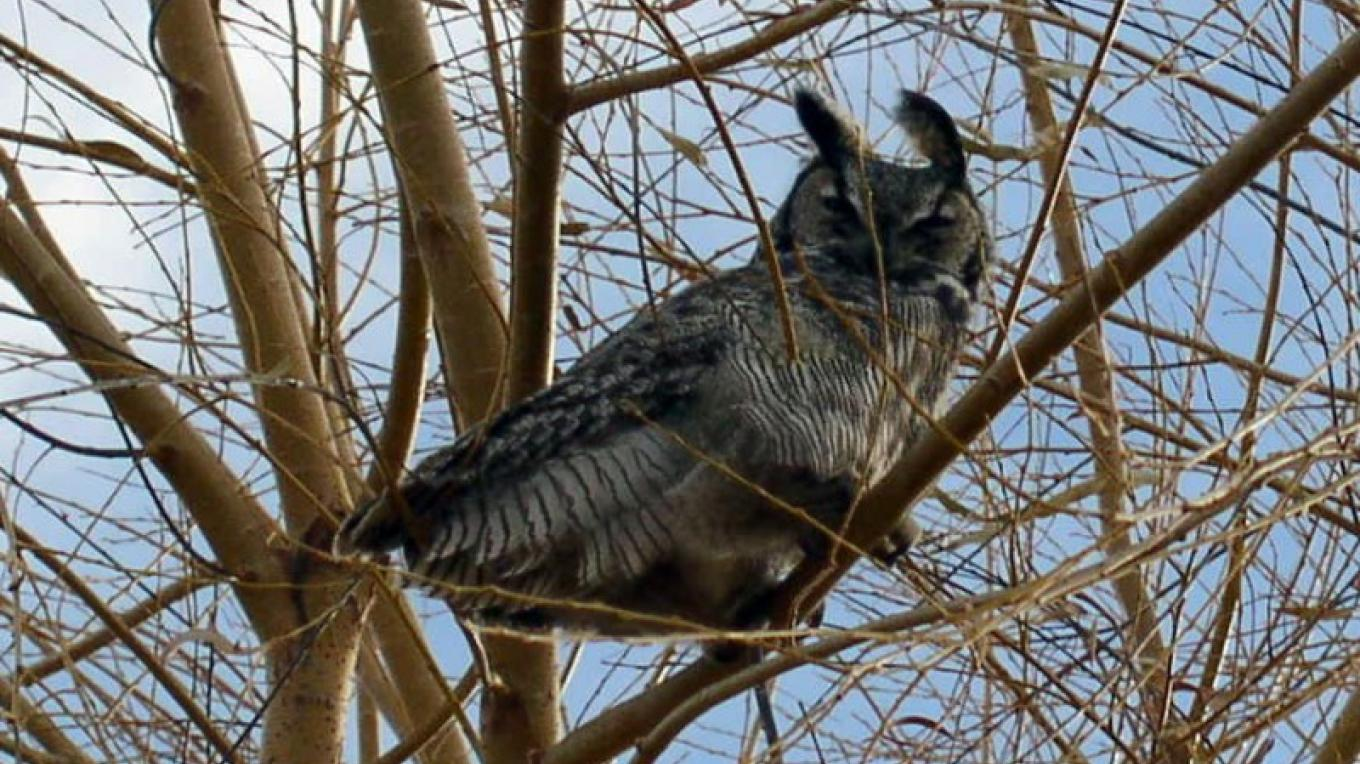 Great Horned Owl on Two Mile Creek – The Youngs