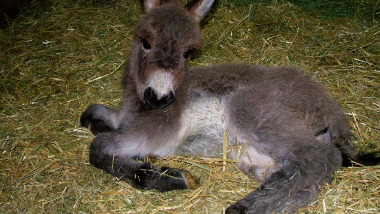 Baby Donkey Foal at ASStec Acres – ASStec Acres