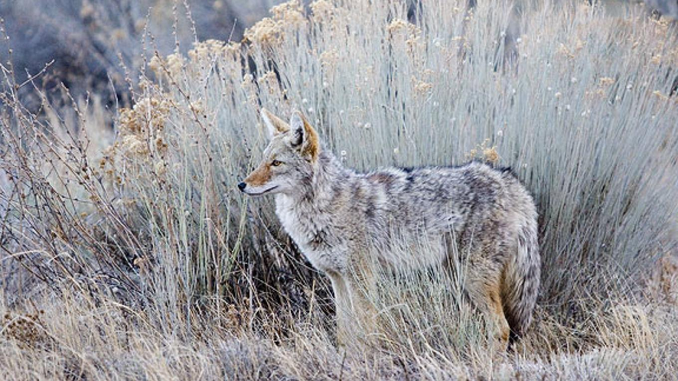 Coyote watches! – Copyright © 2006 Geraint Smith