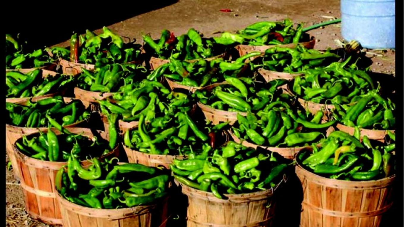 Bushels of Green Chile for Roasting – Allen Sutherland