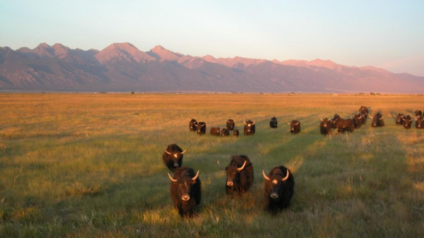 Tibetan Yak at sunset – Kyle Grote