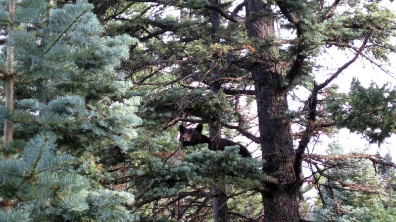 Bear in tree at Shuree Ponds. – Jim O'Donnell