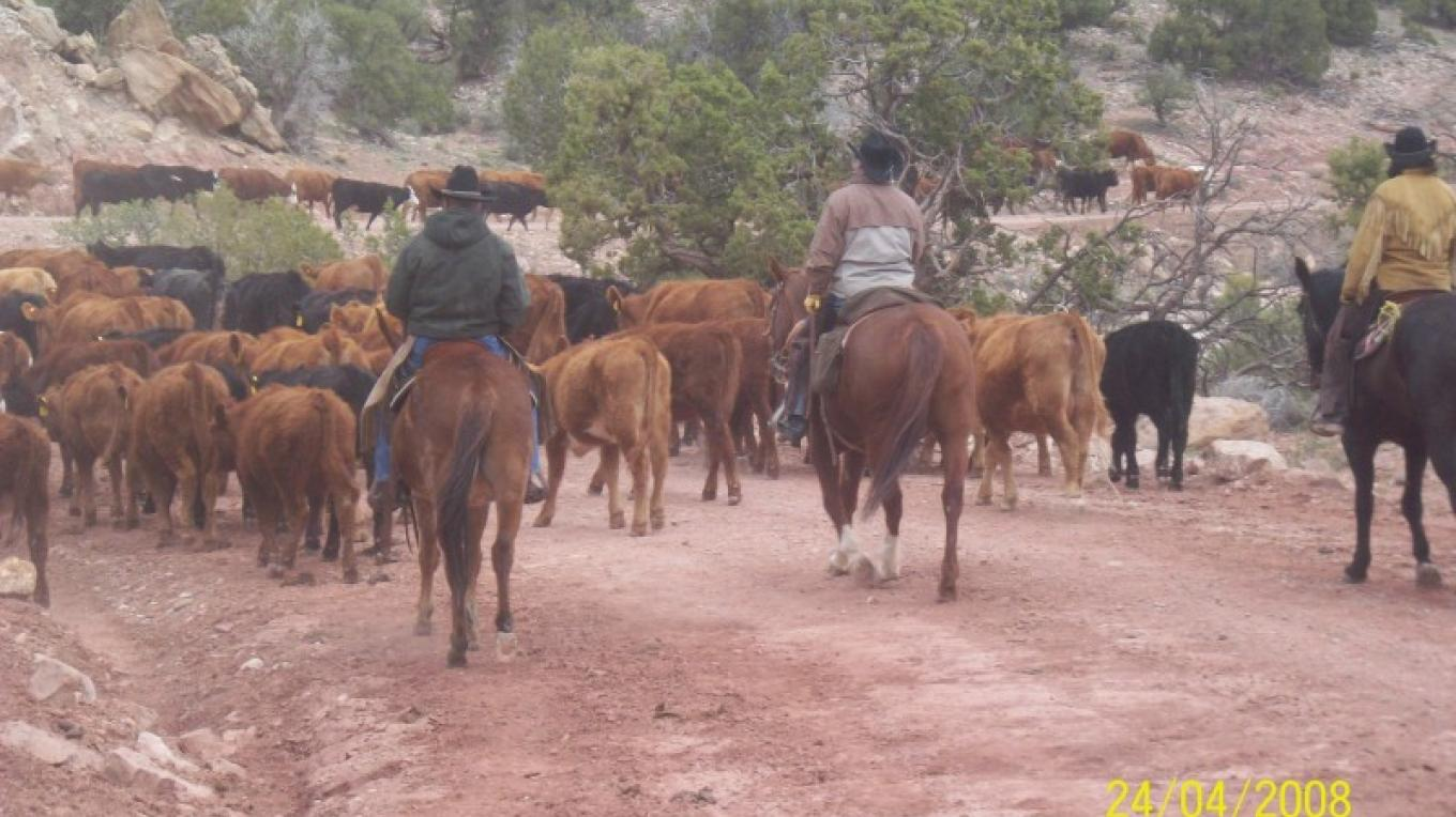Moving Cattle up the Canyon – Courtesy of East Pines Ranch