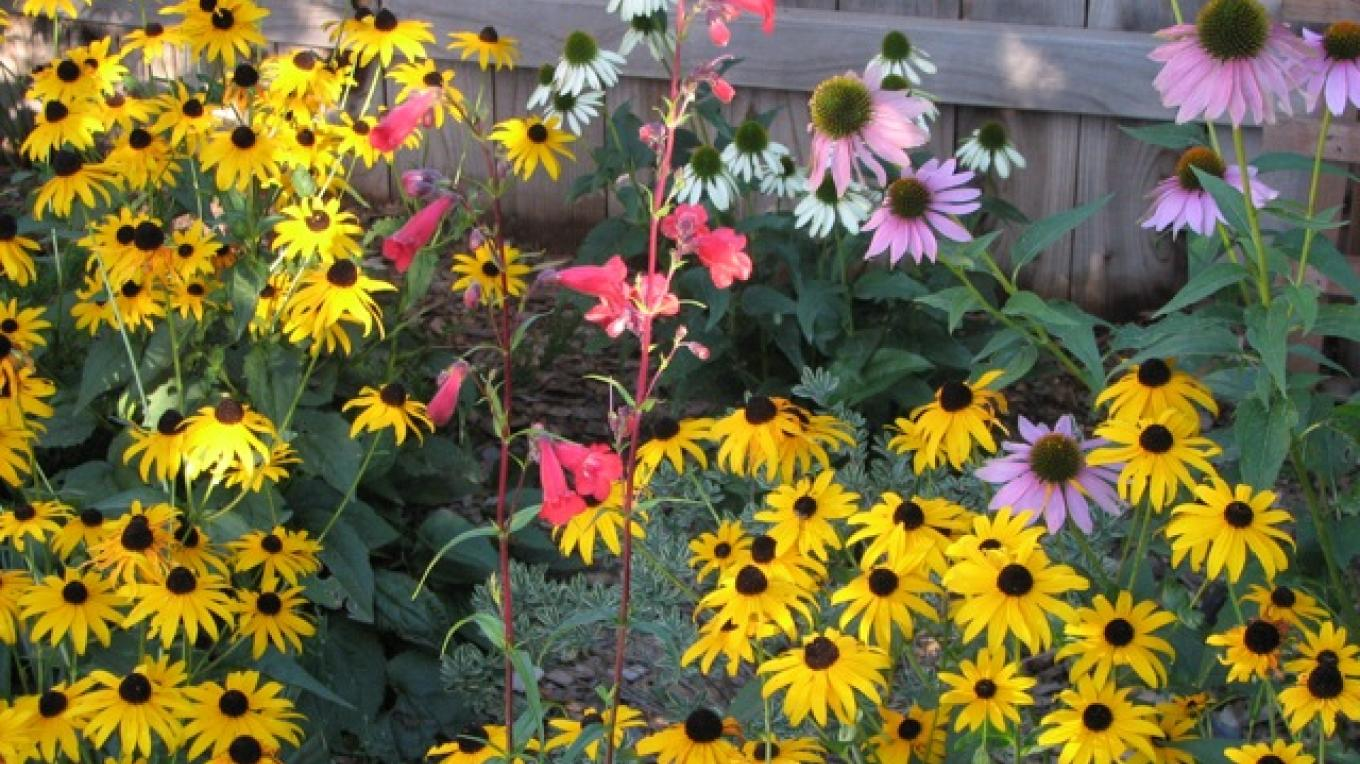 Late summer and autumn bloom; rudbeckia, penstemon and purple coneflower – Rebecca Brunk