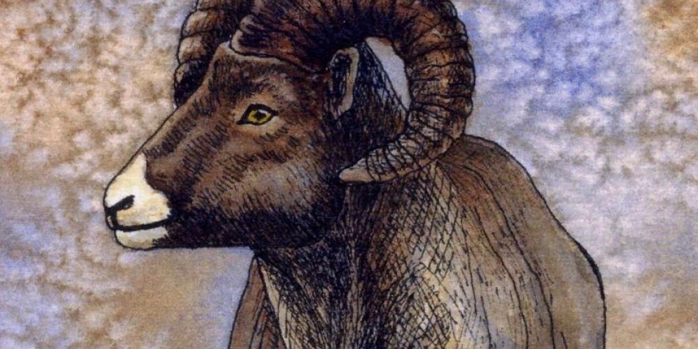 Janet Mein-Wilde, Bighorn Sheep