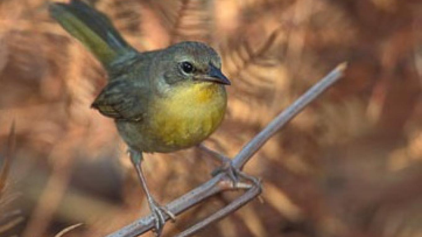 Bahama Yellowthroat (female) – Mike Danzenbaker