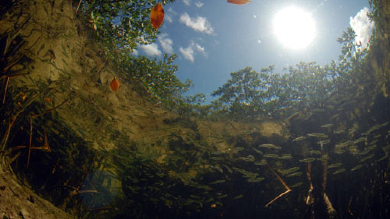 Under water at the Mangroves – Bimini Bonefish Club