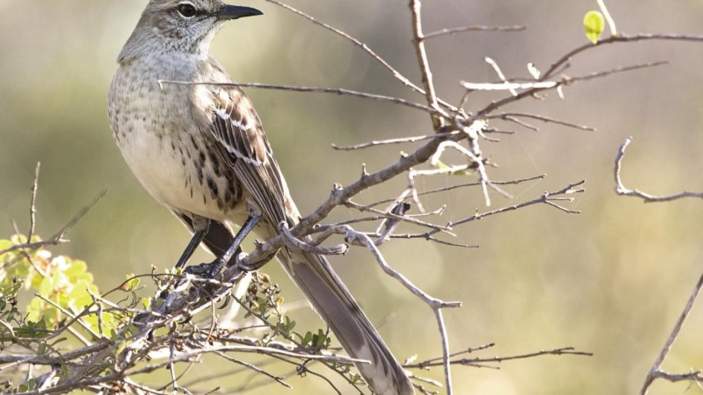 Bahama Mockingbird – Laura Gooch/Flickr Creative Commons