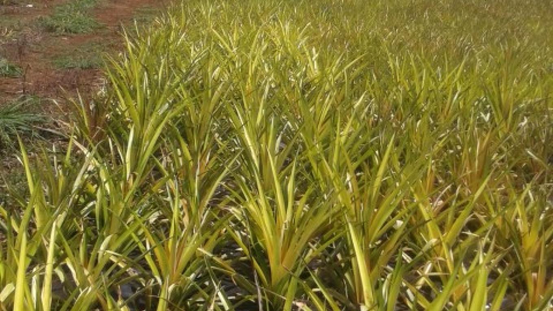 Pineapple Farm – Jackie Russell