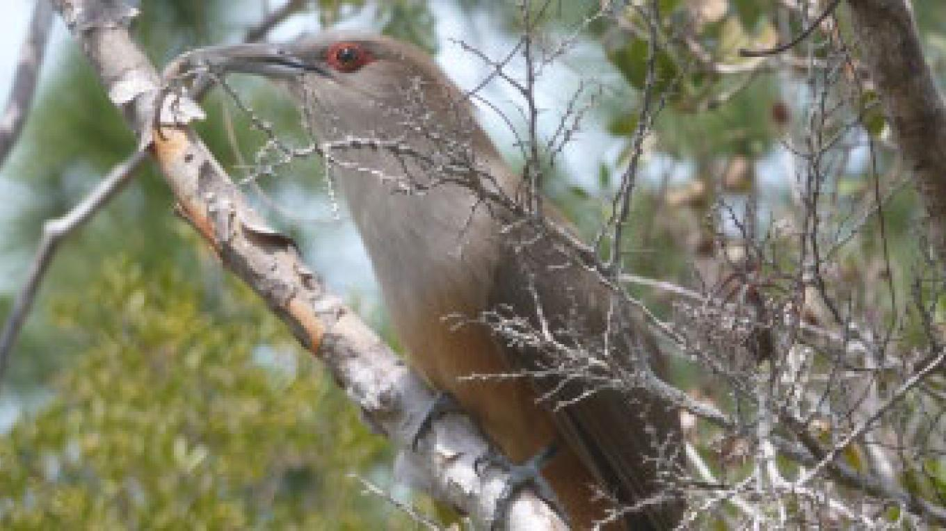Great Lizard Cuckoo – Small Hope Bay Lodge