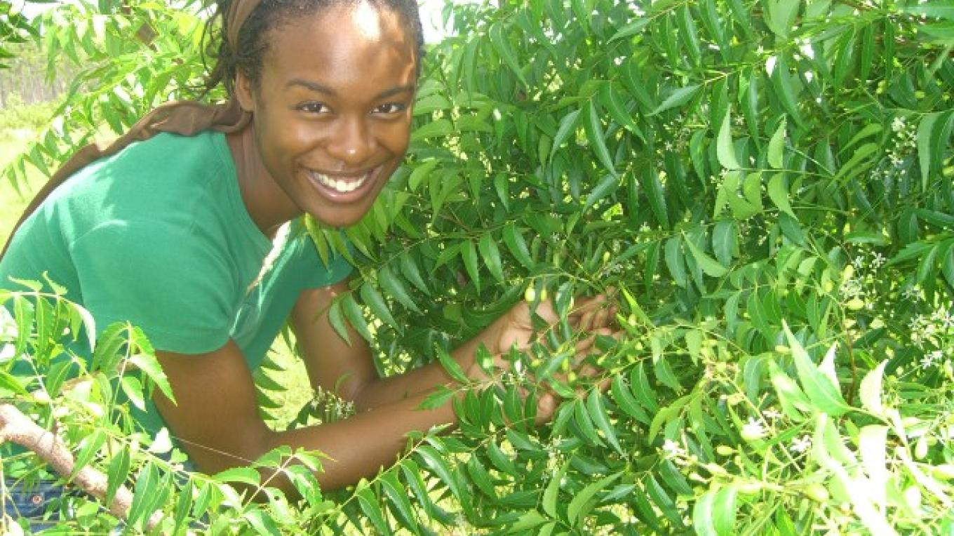 Abaco Neem employee picking leaf for production. – Daphne de Gregory