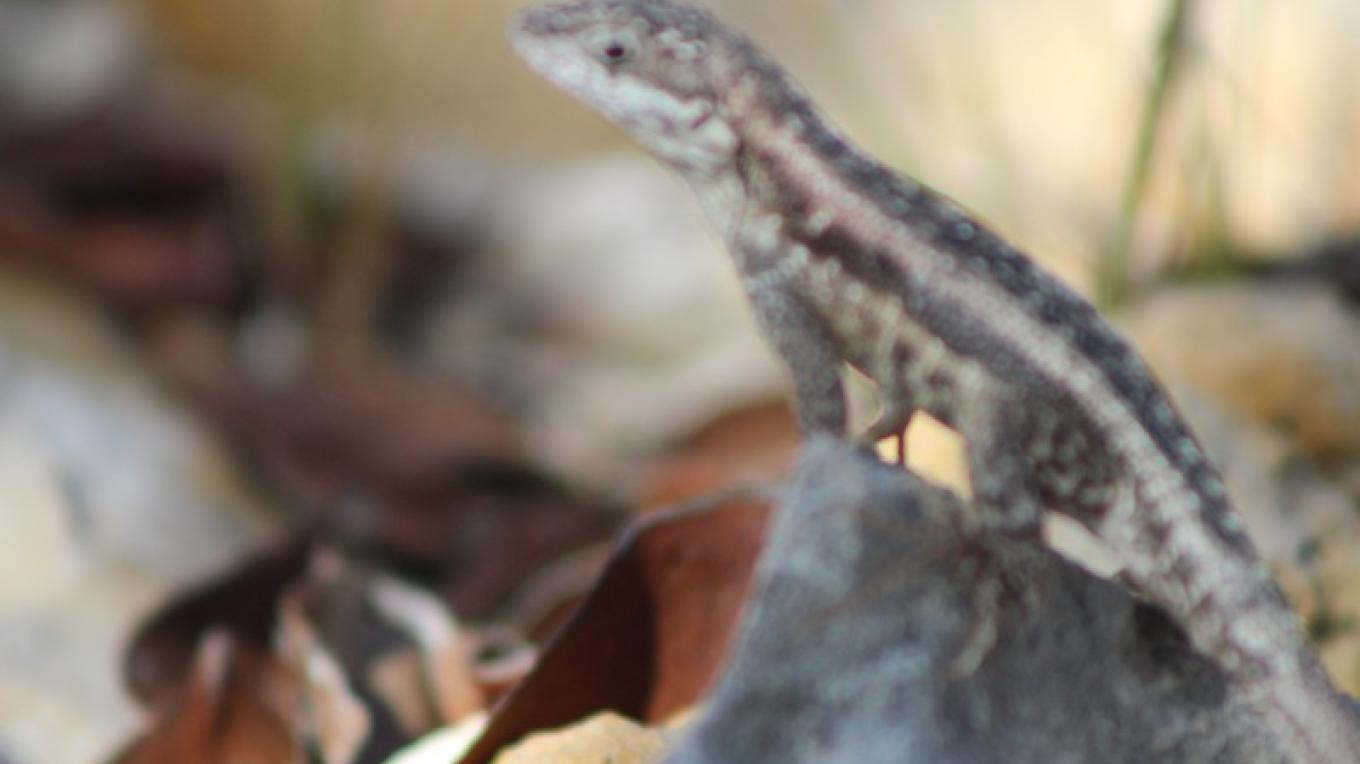Lizard on a Rock – Patricka Ferguson, Yahaka Island Tours