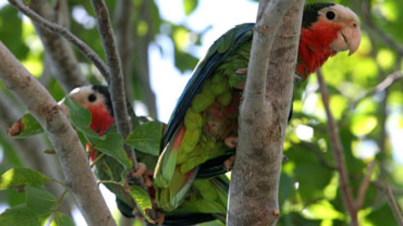 Parrots in a tree in Inagua. – Henry & Olga Stokes