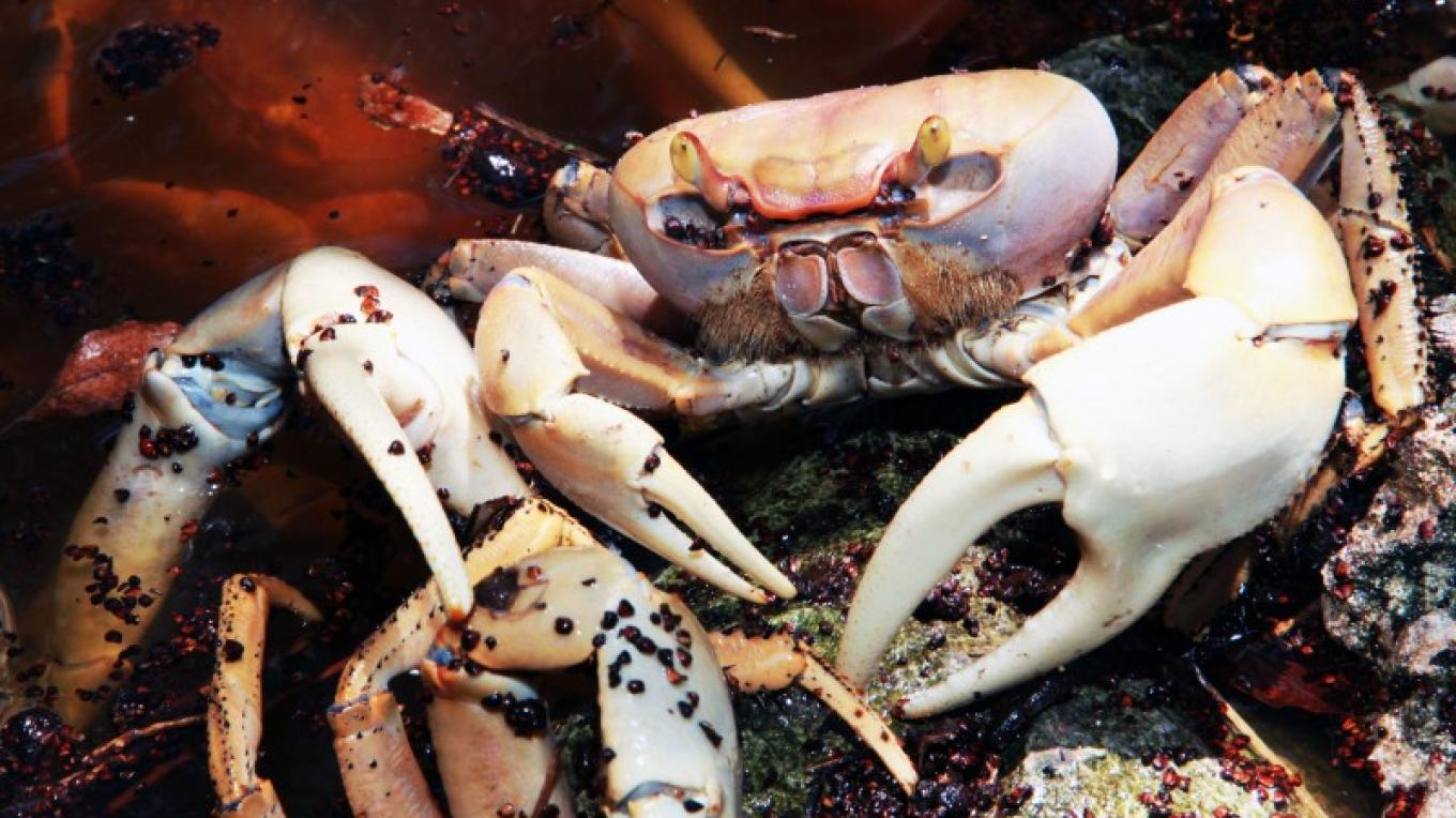 Picture of a Land Crab. – Ministry of Tourism