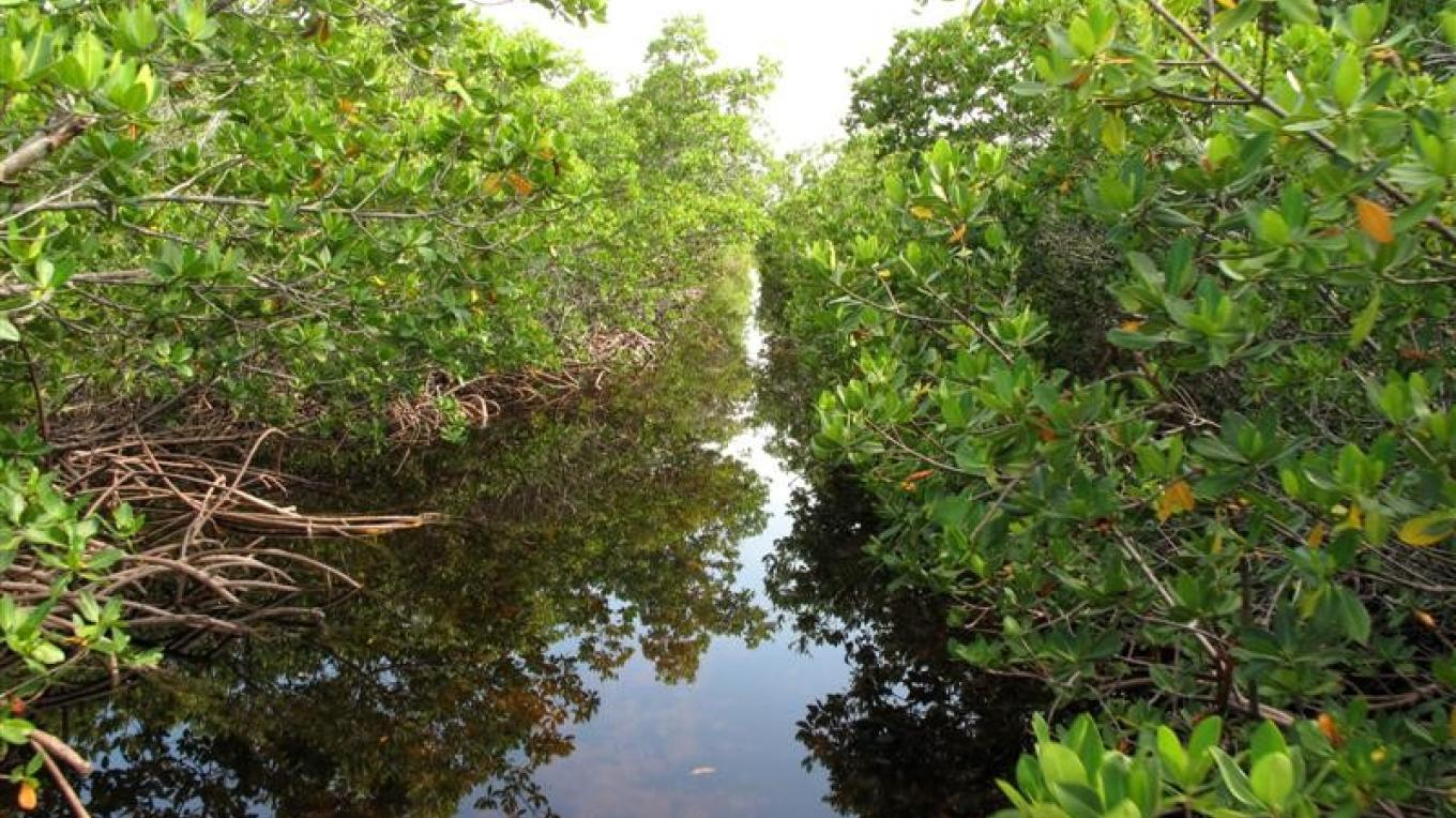Through the mangroves – Ansil Saunders