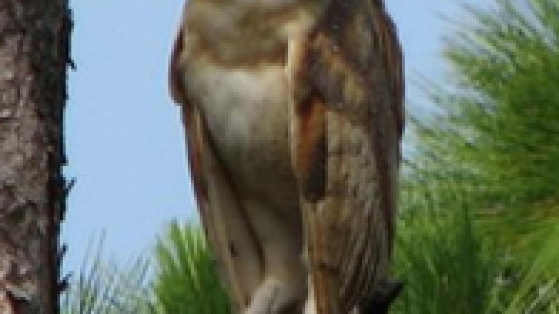 Andros Owl – Rivean Riley