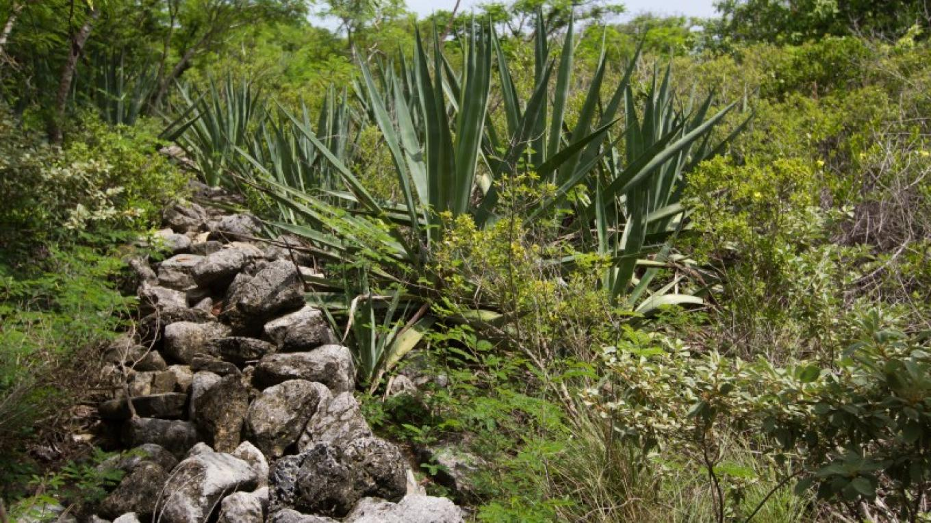 Sisal plant at stone wall in Albert Town on Long Cay. – Bahamas Ministry of Tourism