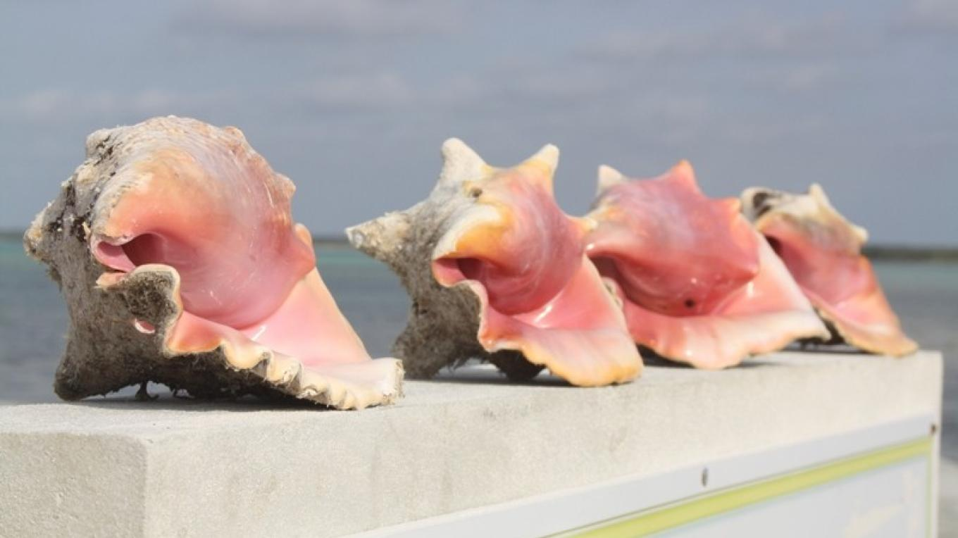 Conch Shells on the Wall in Pirate's Well – Mayaguana Administrator's Office