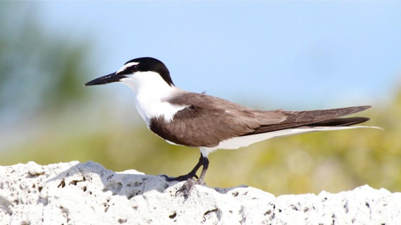 Bridled Tern – Bruce Hallet