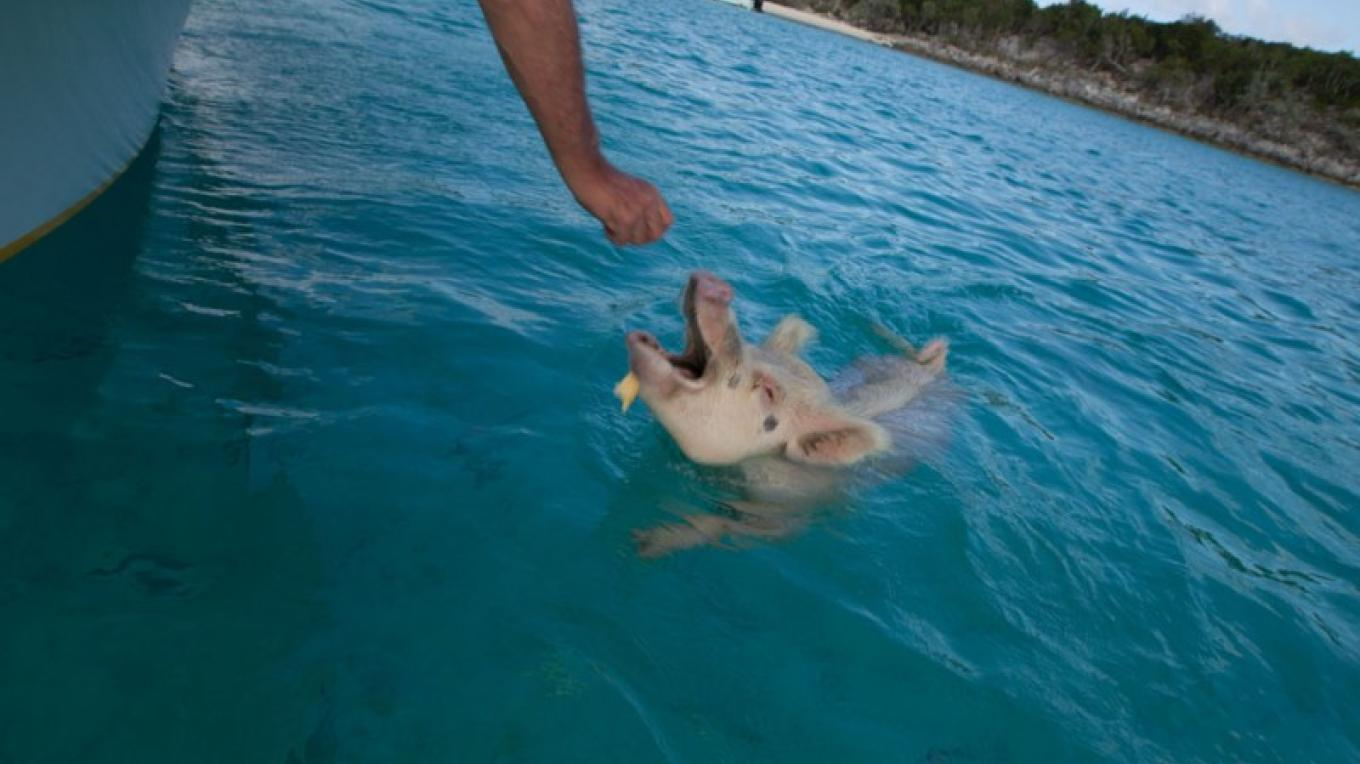 The Swimming Pigs being fed – Bahamas Ministry of Tourism