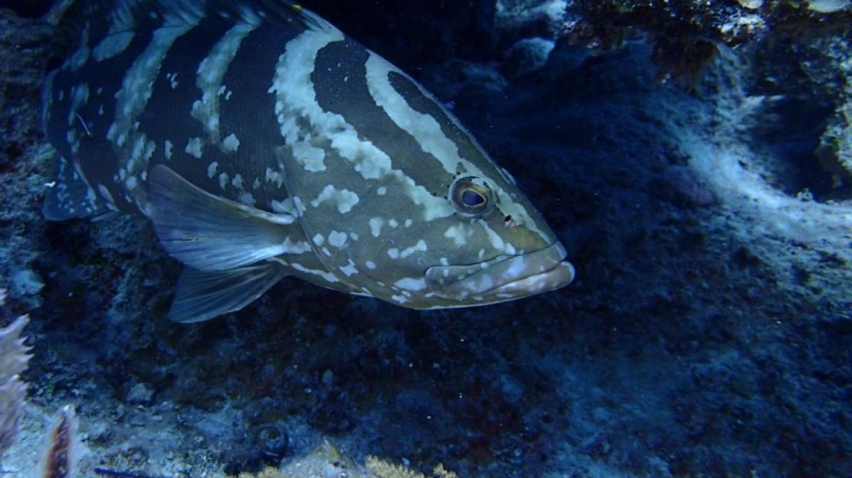 Nassau Grouper – Miller's Dive Shop