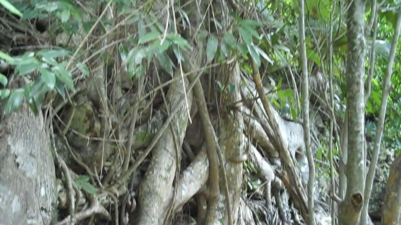 Vegetation in Fern Gully – Bahamas Ministry of Tourism