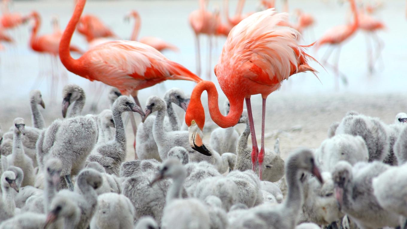 Adult and baby flamingos in the Inagua National Park – Olga Stokes, Birding Expert