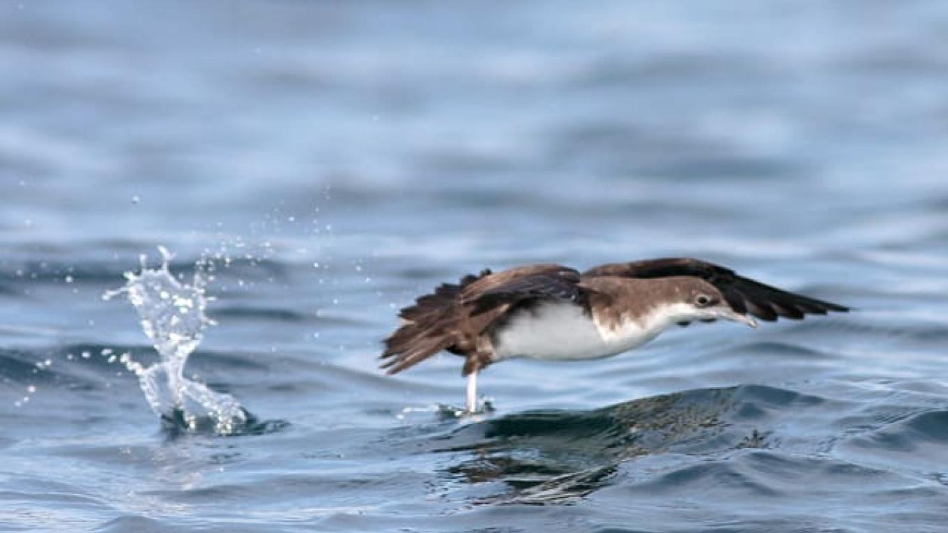 Audubon's Shearwater – Amy McAndrews