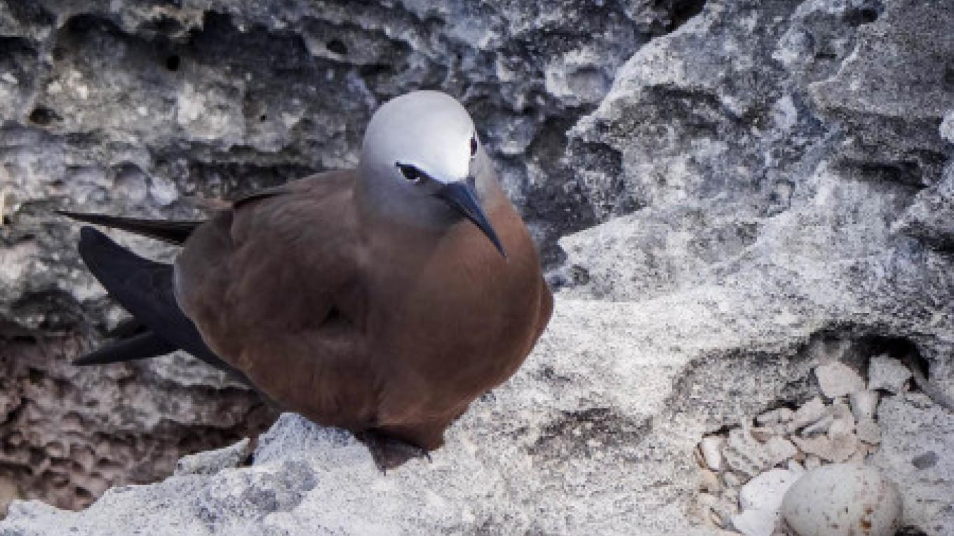 Brown Noddy – Mike Sorenson